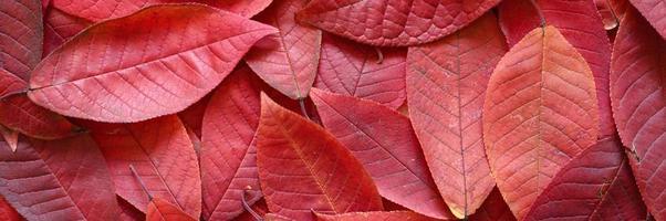 bakgrund av fallna höstens röda blad av ett körsbärsträd foto