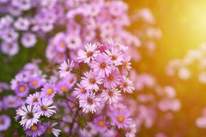 höstblommor aster novi-belgii levande i ljuslila färg foto