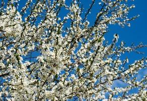 vit blommande buske foto