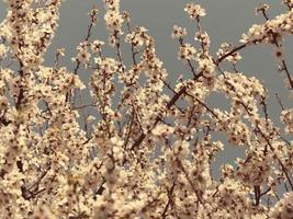 vackra mandelblommor mot blå himmel foto