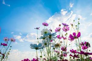 kosmos blomma bakgrund foto