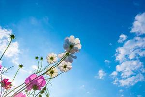 kosmos blommar mot en blå himmel foto