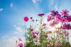 kosmos blomma i solljus foto