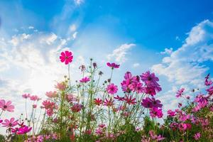 kosmos blommor med en blå himmel foto