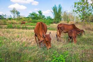 flockar av kor och kalvar foto