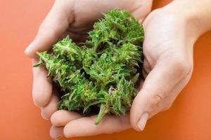 cannabis knoppar i händerna foto