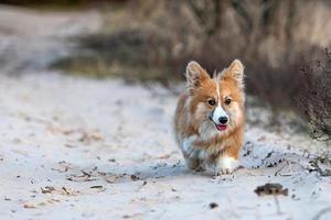 welsh corgi valp springer runt på stranden och leker med en pinne foto