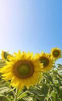 solrosfält med solbländning och en blå himmel foto