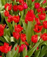 grupp röda tulpaner