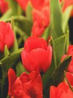 närbild av röda tulpaner