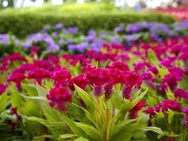 rosa kukblomma eller celosia argentea i trädgården foto
