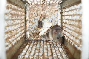 gnagare fångad i en musfälla foto
