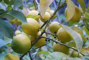 limefrukter på en gren foto