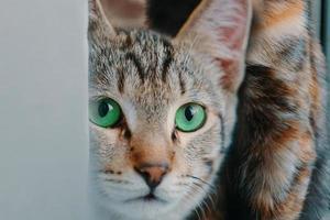huskatt med gröna ögon som tittar på kameran foto