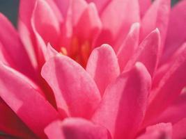 närbild av en rosa lotusblomma foto
