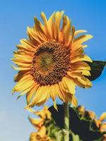 solros i ett fält foto