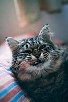 tabby katt gäspar foto