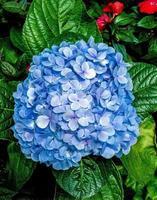 blå hortensia blommor foto