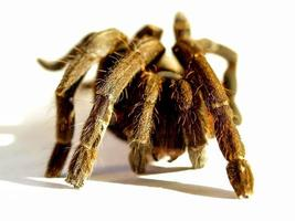 tarantula på en vit bakgrund foto