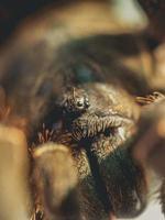 närbild av en tarantula spindel foto