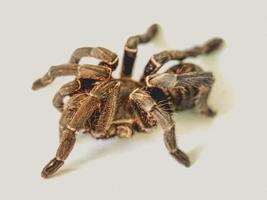 tarantula på en vit yta foto