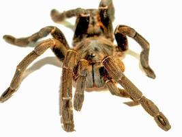 närbild av en tarantula foto