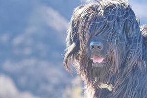 porträtt av en herdehund med hår på ögonen foto