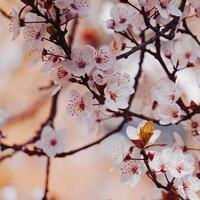 vacker körsbärsblomning under vårsäsongen foto