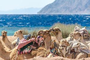 kameler som ligger på sanden foto
