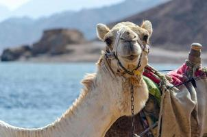 porträtt av en kamel foto