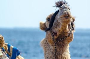 närbild av en kamel foto