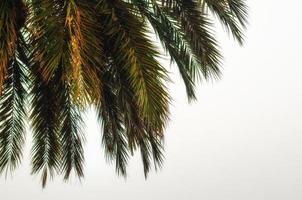 palmgrenar på en vit bakgrund foto