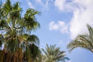 blå himmel och palmer foto