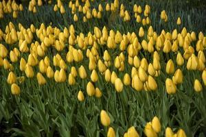 gula tulpanknoppar håller på att blomstra