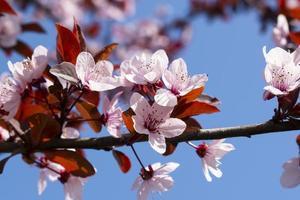 blommande fruktträd på våren i solskenet foto