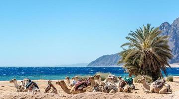 grupp kameler i sanden