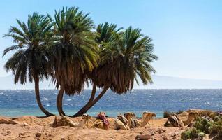 palmer och kameler foto