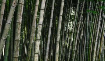 närbild av en grupp bambu