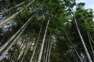 tittar upp på bambu och blå himmel
