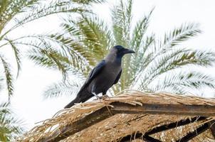 jackdaw sitter på kanten av ett brunt palmblad