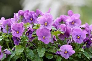 ett gäng vackra violer som blommar i trädgården sommardag foto