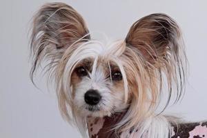 ett porträtt av en renrasig kinesisk krönta hund foto