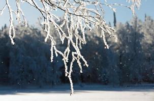 frost som faller från tunna trädgrenar foto