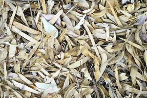 texturerad bakgrund av torra vissna fallna höstlöv av eukalyptusträd foto