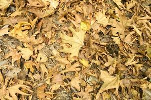 texturerat bakgrund av torra vissna fallna höstlöv av lönnträd foto