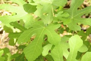 gröna vilda fikonblad i regnskogen med solstrålar foto