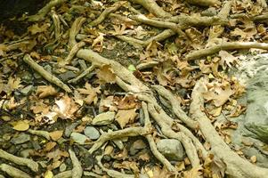 kala rötter av träd som sticker ut från marken i klippiga klippor och fallna löv på hösten foto