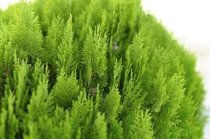 bakgrund av närbild vackra gröna julblad av thujaträd foto