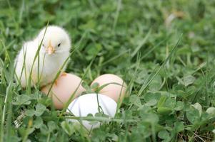 söt liten liten nyfödd gul baby kyckling i manliga händer av jordbrukare på grönt gräs bakgrund foto