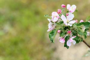 äpple rosa blommor foto